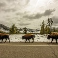 Bison walking along the road.- West Yellowstone