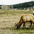 Grazing elk.- West Yellowstone