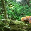 Trailside fungus.- Whiteoak Canyon + Cedar Run Circuit