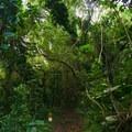 The trail starts through dense tropical forest.- Kolowalu Trail