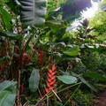 Birds of paradise flowers.- Kolowalu Trail