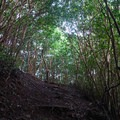 The steep sections ascend rapidly through strawberry guava.- Kolowalu Trail