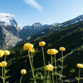 Globe flowers along the trail are among the many wildflowers you'll find.- Tour Du Mont Blanc (TMB) Overview