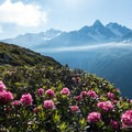 Alpenrose continue to dot the trail on the way to Le Brevent.- Tour Du Mont Blanc (TMB) Overview