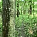 Young hardwood forest.- Leland Reserve