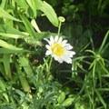Common daisy.- Leland Reserve