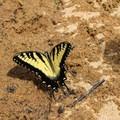 Eastern tiger swallowtail.- Mason Neck State Park