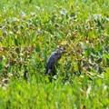Great blue heron.- Mason Neck State Park