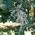 Ocean-spray (Holodiscus discolor).- Lowder Mountain via Upper Trailhead
