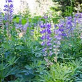 Lupine.- Lowder Mountain via Upper Trailhead