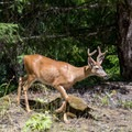 A deer in the Three Sisters Wilderness.- Lowder Mountain via Upper Trailhead