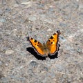 California tortoiseshell (Nymphalis californica) butterfly.- Lowder Mountain via Upper Trailhead