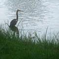 Tricolored heron surveys the scene.- St. Marks National Wildlife Refuge