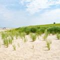 Beach grass at Race Point Beach.- Race Point Beach
