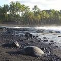 A turtle on the shore.- Punalu'u Black Sand Beach Campground