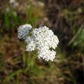 Queen Anne's Lace.- Pole Canyon Trail