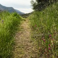 The trail climbs up and out of grassy meadows, winding through a Manzanita forest.- Middle Fork Trail to Redwood Meadow