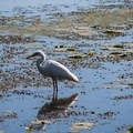 This egret joins other shore birds each morning and evening to fish in the shallow water.- Button Bay State Park