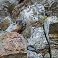 A marmot pays a visit along the trail.- Mount Reynolds Summit