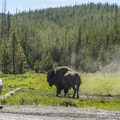 Bison are common in this area.- Firehole Canyon