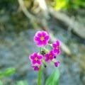 Parry's primrose.- Alpine Lakes Loop