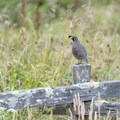 Beautiful California quail are common throughout Point Reyes National Seashore.- Laguna Trail