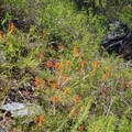 Indian paintbrush.- Mosca Pass Trail