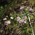 Tahoka daisy.- Mosca Pass Trail