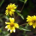 Graylocks four-nerve daisy.- Mosca Pass Trail