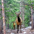 Elk roaming in the forest.- Bear Lake to Fern Lake