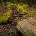 Rhododendron roots, moss, and stones cover the side of the trail leading into the valley.- Graveyard Fields