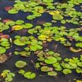Lily pads.- Pocahontas State Park