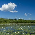Lily pads on Seeley Lake.- Clearwater Canoe Trail