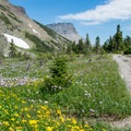 Alpine wildflowers in bloom in July.- Swiftcurrent Pass Trail