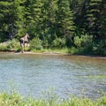 The mother moose returns into the forest after grazing in the water.- Swiftcurrent Pass Trail