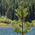 A calf pauses on the lakeshore.- Swiftcurrent Pass Trail
