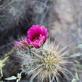 Flower along the trail.- Mormon Trail to Hidden Valley
