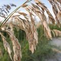 Sea oats are vital to preventing beach erosion.- Coquina Beach