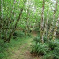 Alders and ferns are the stars of this walk.- Loony's Lakeview Trail