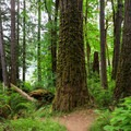 Old-growth Douglas fir trees line the trail as it separates to the optional lakefront trail.- Loon Lake Falls