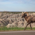 Bighorn sheep are seen throughout the park, even along the road.- The Door Trail