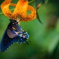 Butterflies fill the air in the summer on Huckleberry Knob, while the Turk's cap lilies and other wildflowers line the trail.- Huckleberry Knob