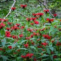 Bee balms line the trail in the late summer.- Huckleberry Knob