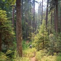 The trail delves into green, old-growth forest after the burn.- Elk Lake Creek: North Trailhead to Battle Creek