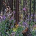 Tall wildflowers.- Elk Lake Creek: North Trailhead to Battle Creek