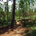 Pine flatwoods along the Torreya Trail.- Torreya Trail