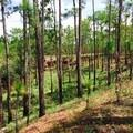 Hillside pine flatwoods along the Torreya Trail.- Torreya Trail