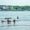 A family of waterfowl swim near the western shore.- Gooch's Beach