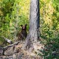 A curious young black bear near Bowman Lake.- Bowman Lake Paddle