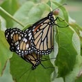 Monarch butterflies.- Ulysses S. Grant National Historic Site